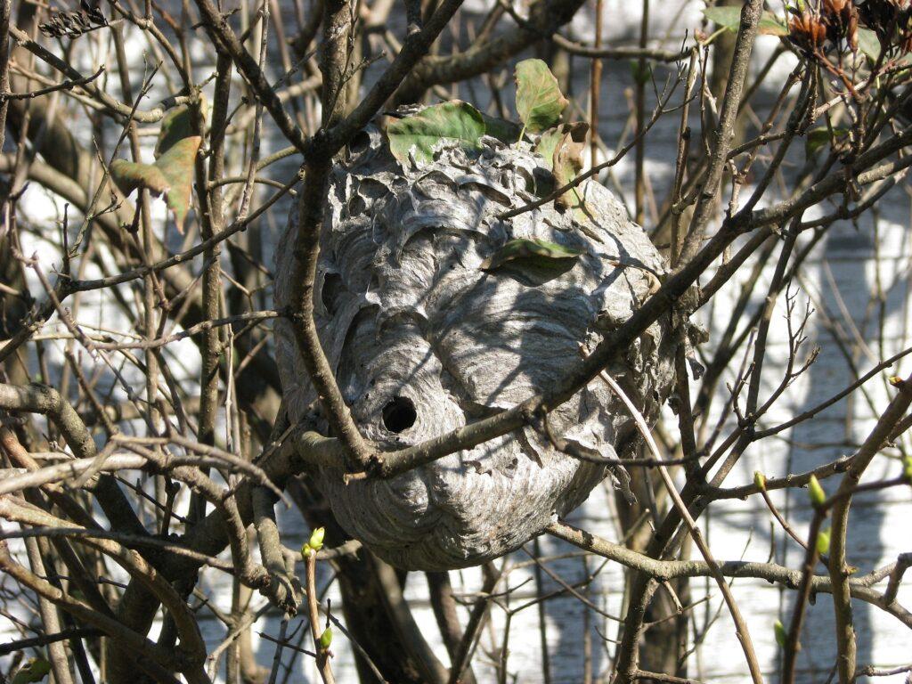 Vous êtes préoccupés par les nids de frelons asiatiques ?